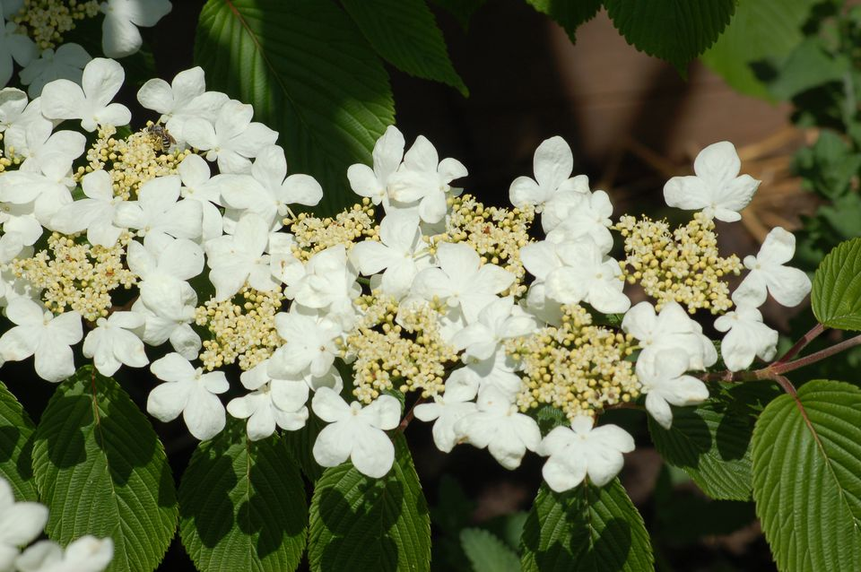 Doublefile viburnum with its flowers lining up double-file along a branch.