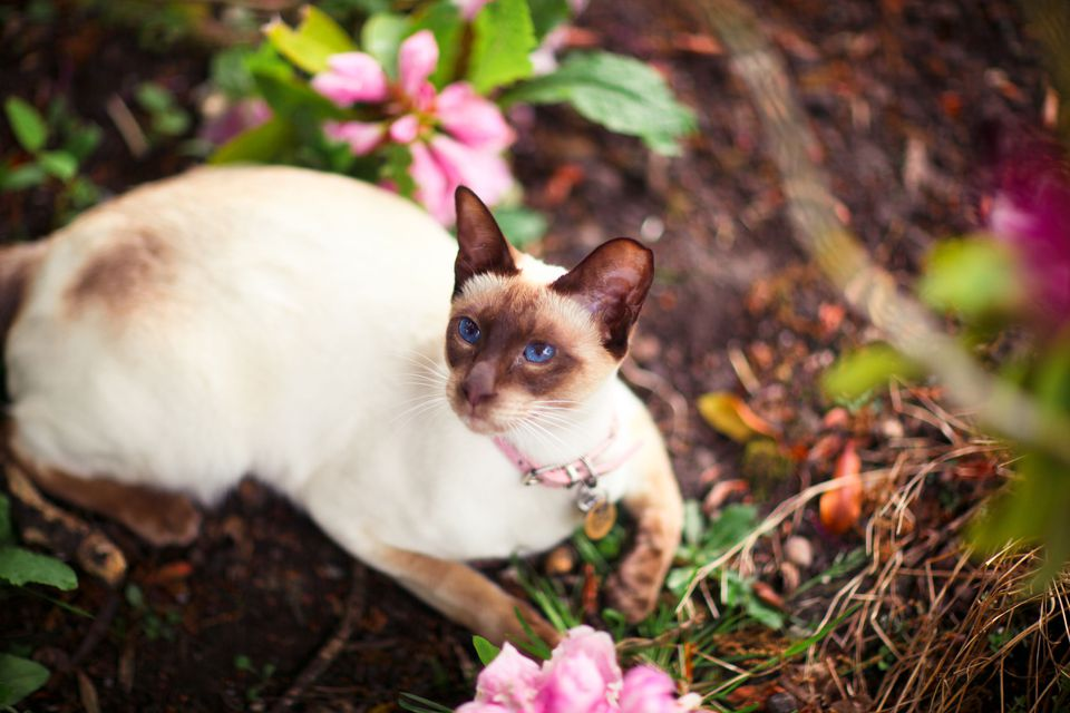 Photo of Chocolate Point Siamese Ca