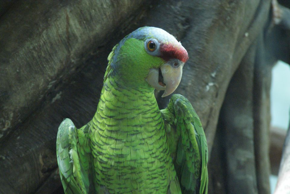 A Lilac-crowned Amazon at Central Park Zoo, New York