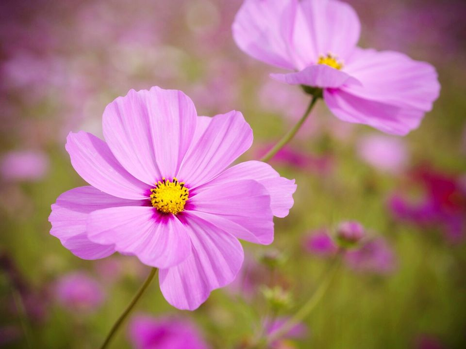 cosmos is a great cottage garden flowers its airy a profuse bloomer and it self sows aromal anil eyeem getty images - Garden Flowers