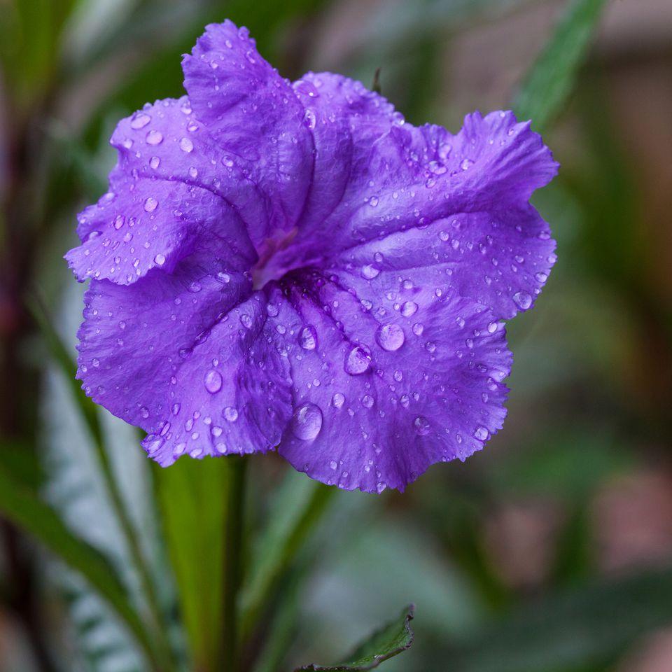 Mexican petunia - Ruellia brittoniana, Florida