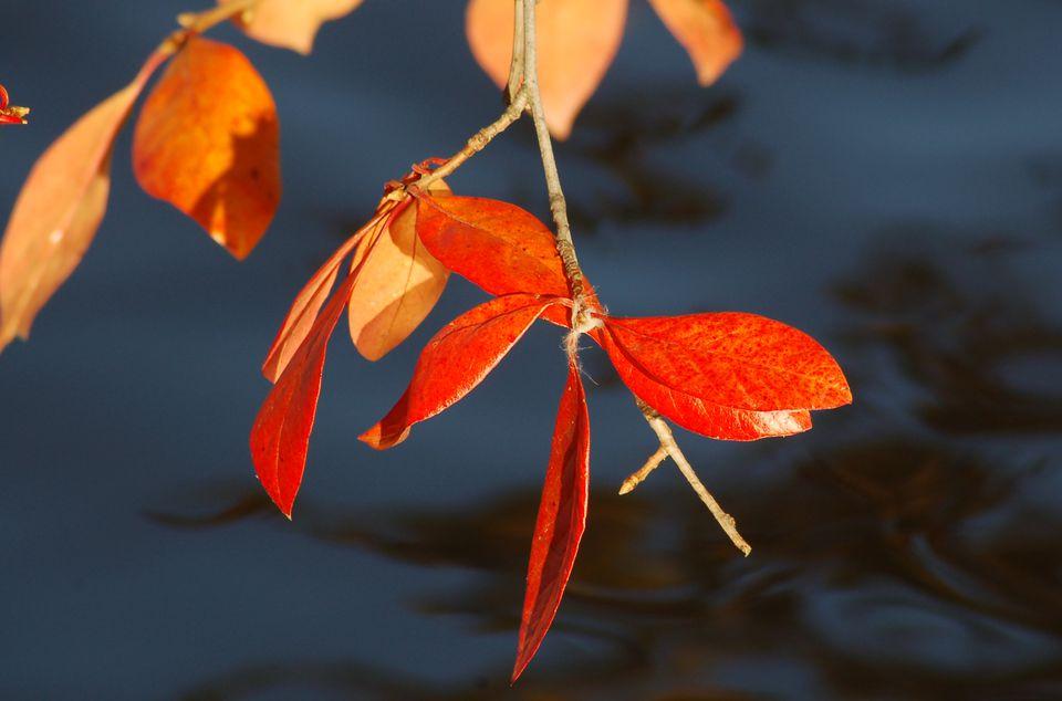 Image of fall foliage of swamp tupelo tree.