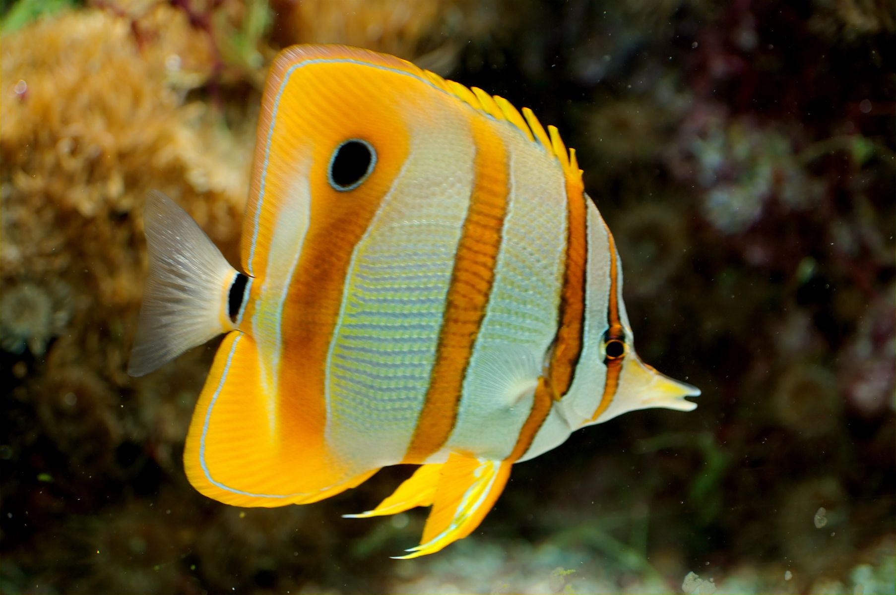 Butterflyfish chaetodontidae diet and feeding - Peces tropicales fotos ...