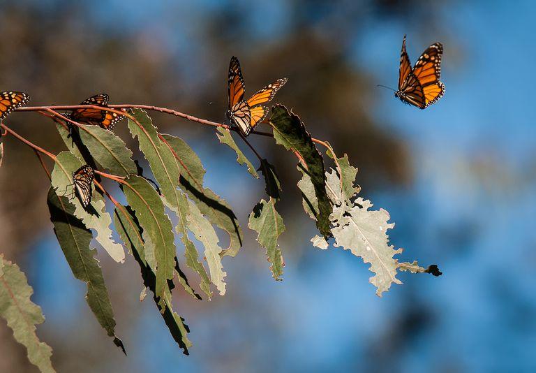 Migrating monarchs