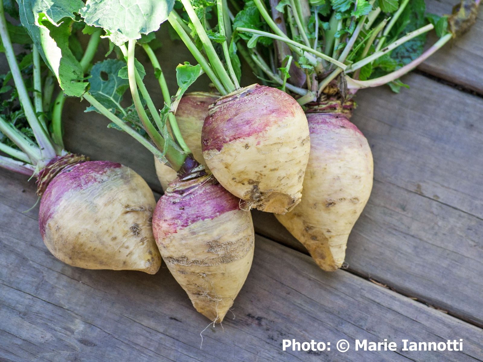 Adivce On How To Grow Rutabaga