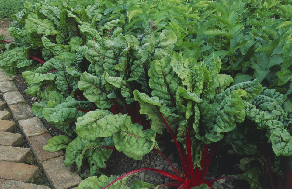 Ruby chard growing in garden.