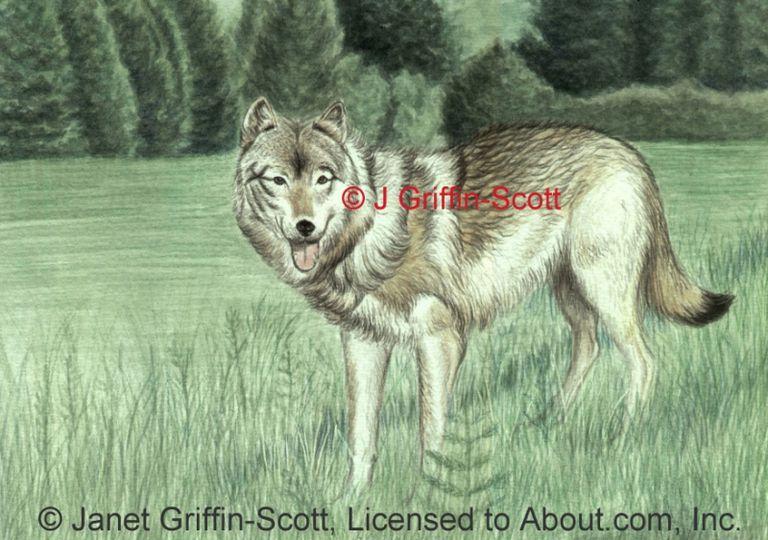 draw a wolf