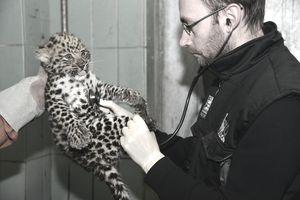 Vet listens to baby leopard's heart