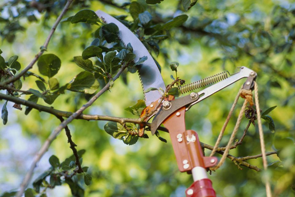 Long handle pruning saw and secateurs cutting apple (Malus) tree