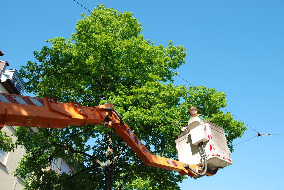 Arborist in lift working on a tree.