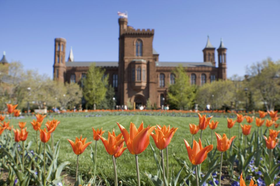 Orange tulips in front of the Smithsonian Institute Castle, Washington DC, USA