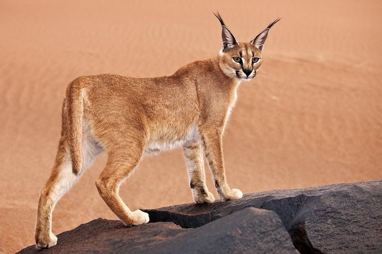 This caracal is one of about 41 species of cats alive today.