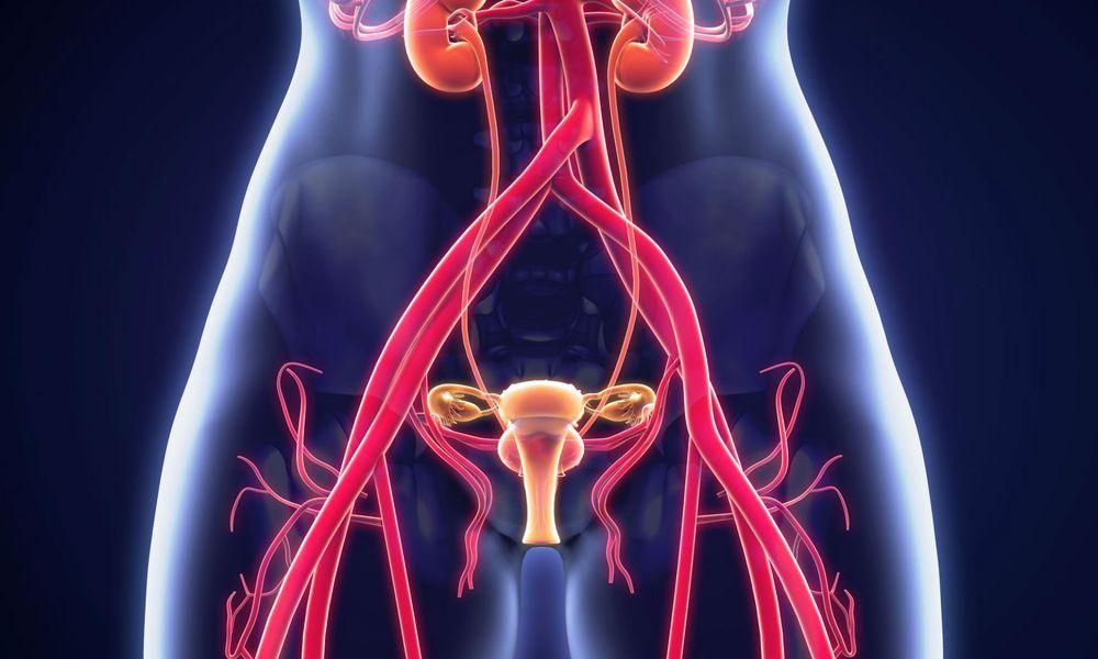 Female Urogenital Anatomy