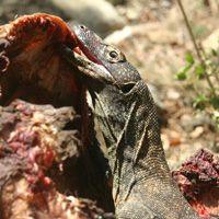 Young Komodo Dragon feeding