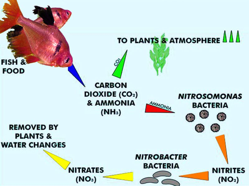 Nitrogen cycle in aquariums understanding the basics for Nitrite in fish tank