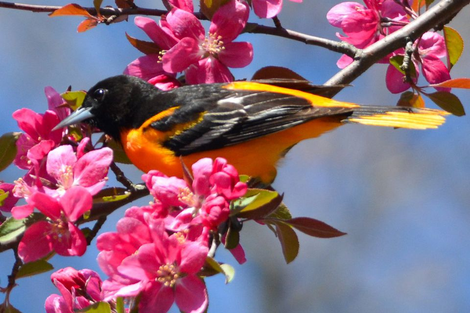 Baltimore Oriole in Spring