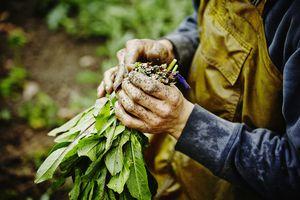 Farmers hands bundling bunch of dandelion greens