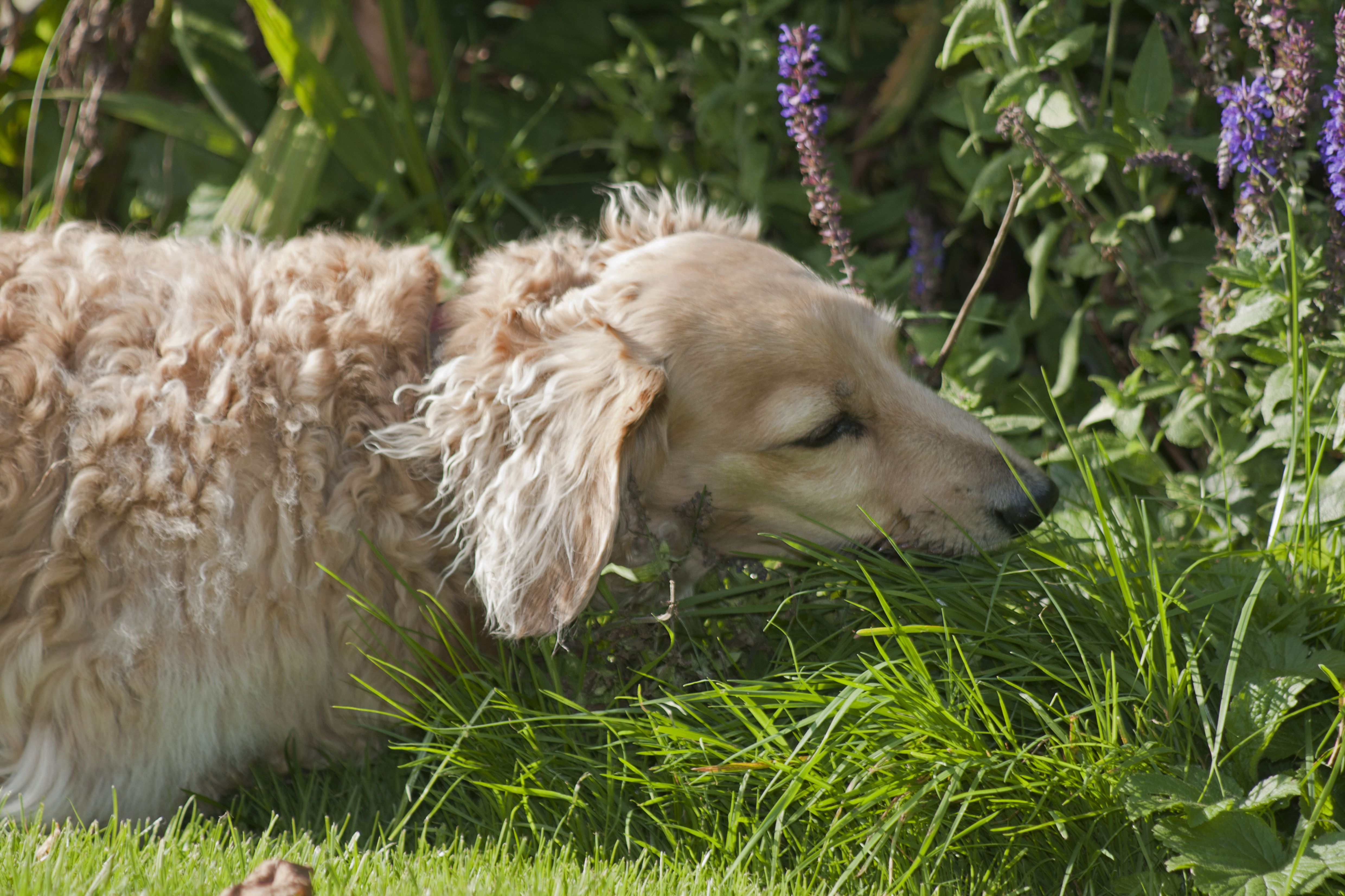 Does Eating Grass Make Dogs Sick