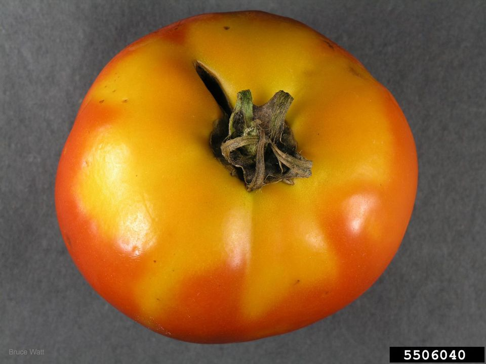Tomato with Yellow Shoulders