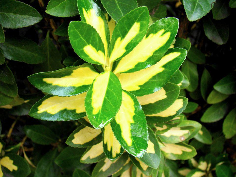 euonymus.mauro.flickr.jpg