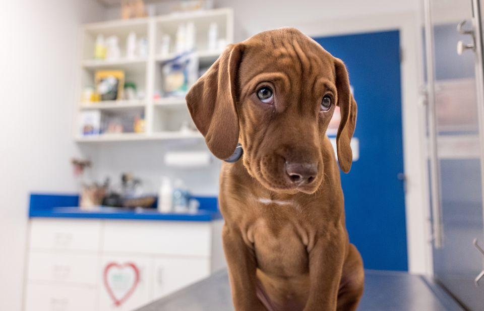 Dog in vets office