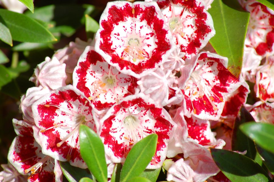 Minuet laurel (image) has reddish-pink flowers. The blooms are impressive.