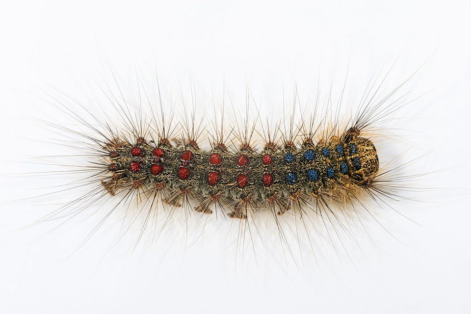 gypsy moth (Lymantria dispar).