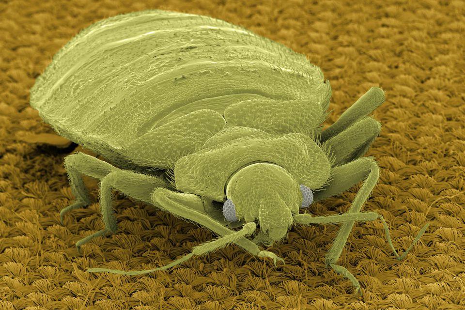 SEM Micrograph of bedbug on fabric