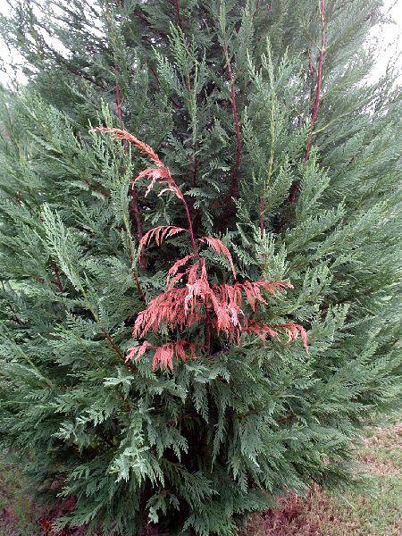 Seiridium on Leyland Cypress