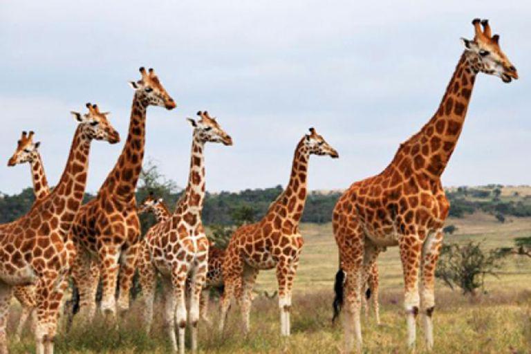 Rothschild's giraffe - Giraffa camelopardalis rothschildi