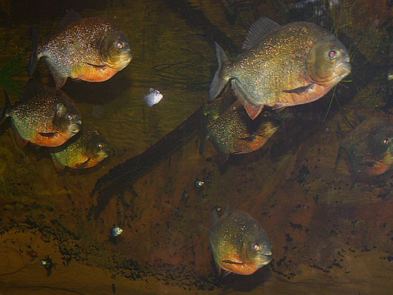 Red Belly Piranha taken by Dr Thomas R, Reich In Vancouver Canada