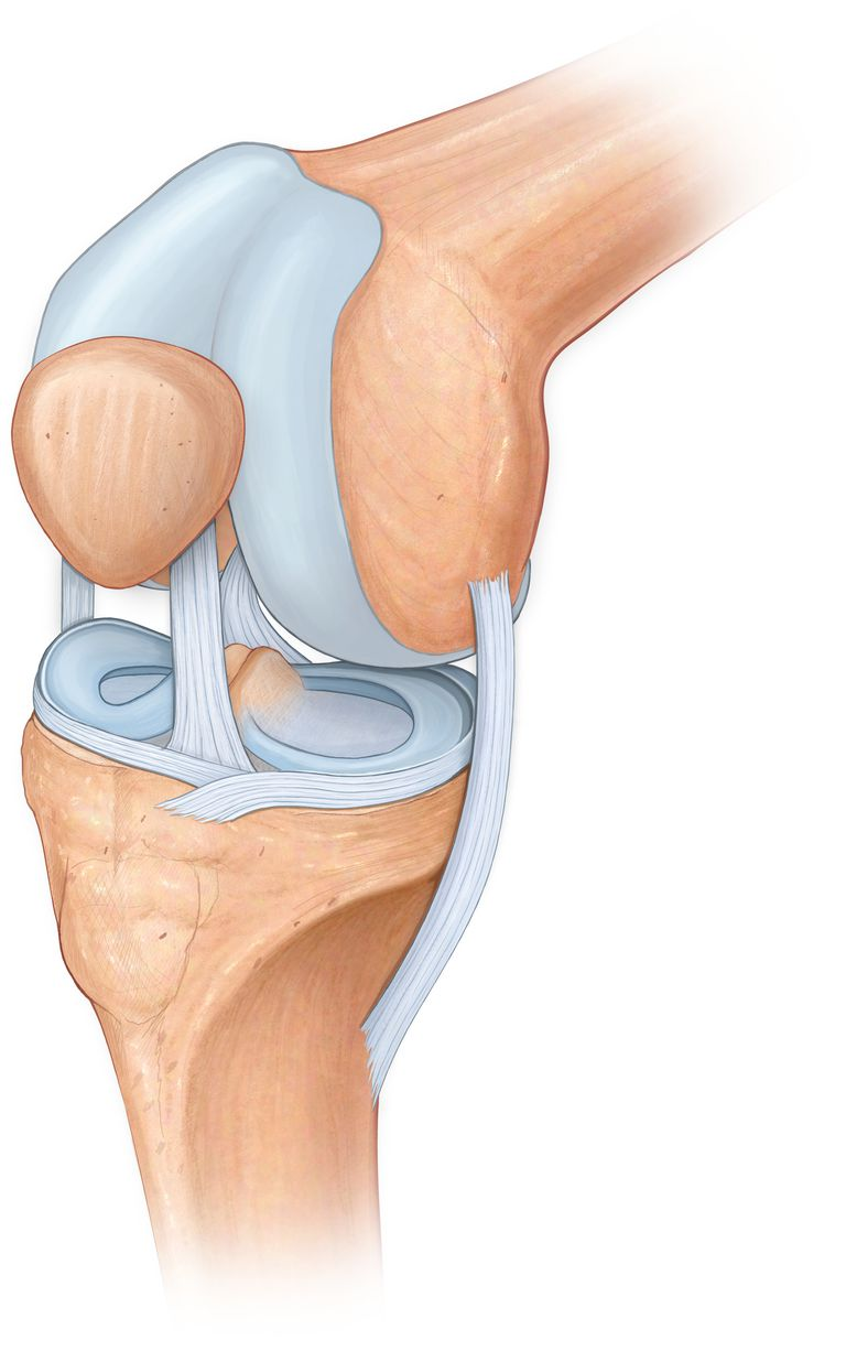 Three quarter view of the knee joint showing the meniscus, cruciate, acl and mcl ligaments