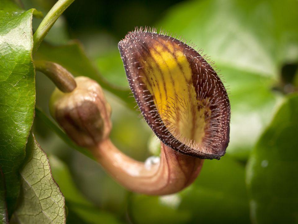 Flower of Dutchman's pipe vine.