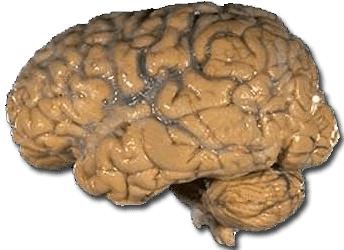 Human brain shape and function is a product of evolution.