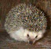 Genie - African Pygmy Hedgehog