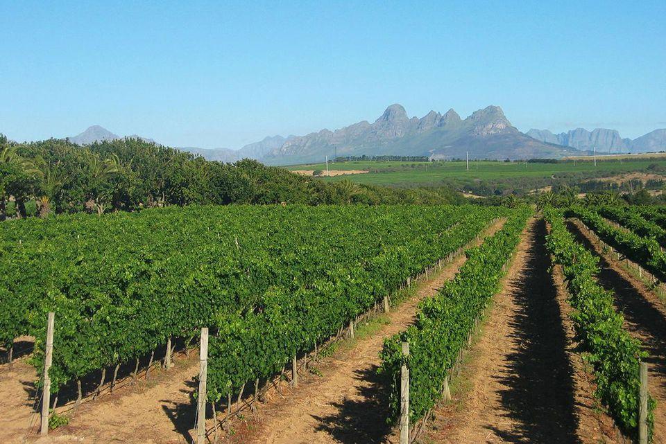 Vineyards on Meerlust estate, just outside Stellenbosch.