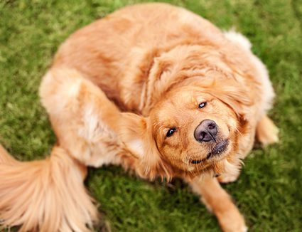 Can I Put Diatomaceous Earth On My Dog