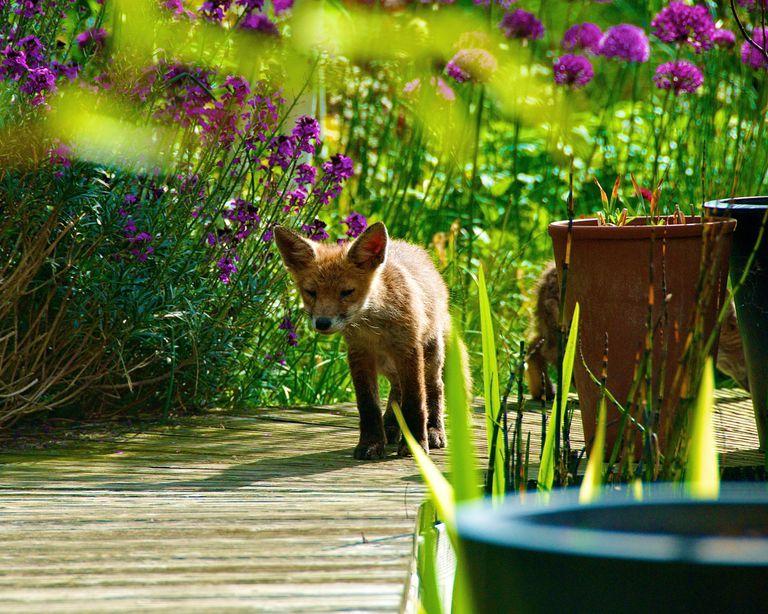 Un zorro cachorro toma sol en un jardín amigable para la vida silvestre.