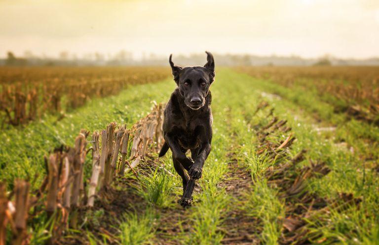 A labrador running