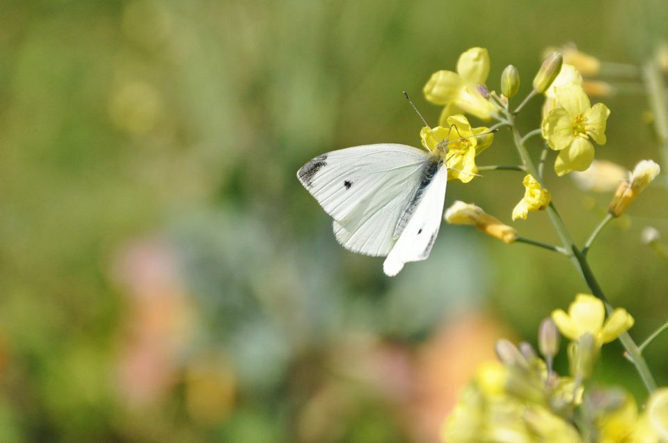 Cabbage Worm Turned into Butterfly