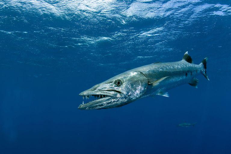Great barracuda swimming.