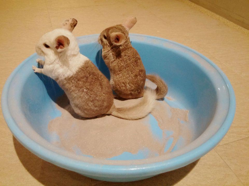 Chinchillas in a dust bath