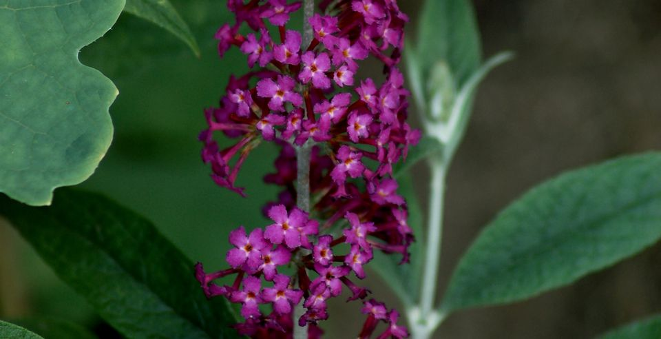 Miss Ruby butterfly bush (image) is a Buddleia. Its flowers are pink.