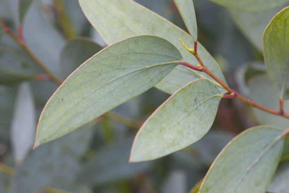 Eucalyptus pauciflora subsp. Niphophila Snow Gum