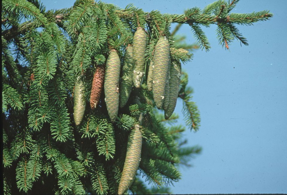 Norway Spruce Branche