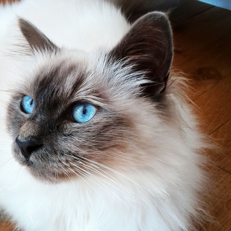 Birman cat on hardwood flooring