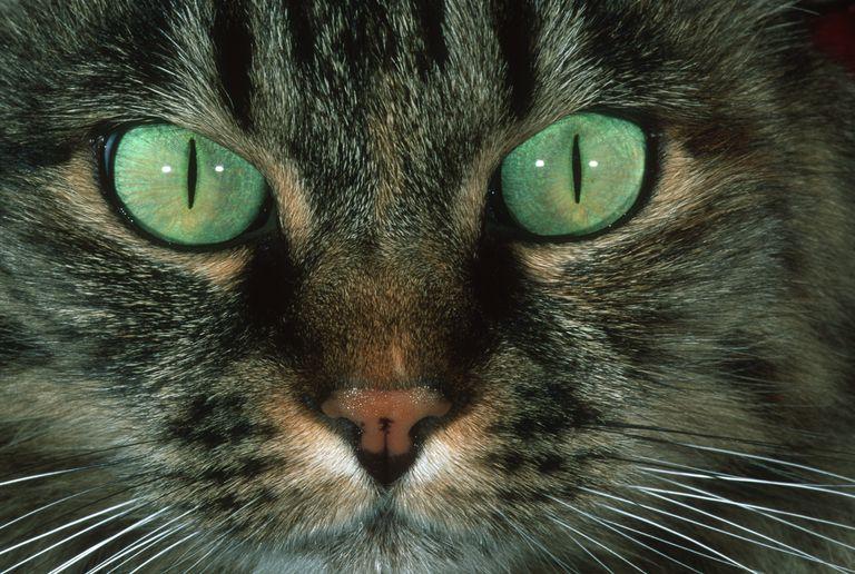 Domestic cat (Felis Felidae) close-up