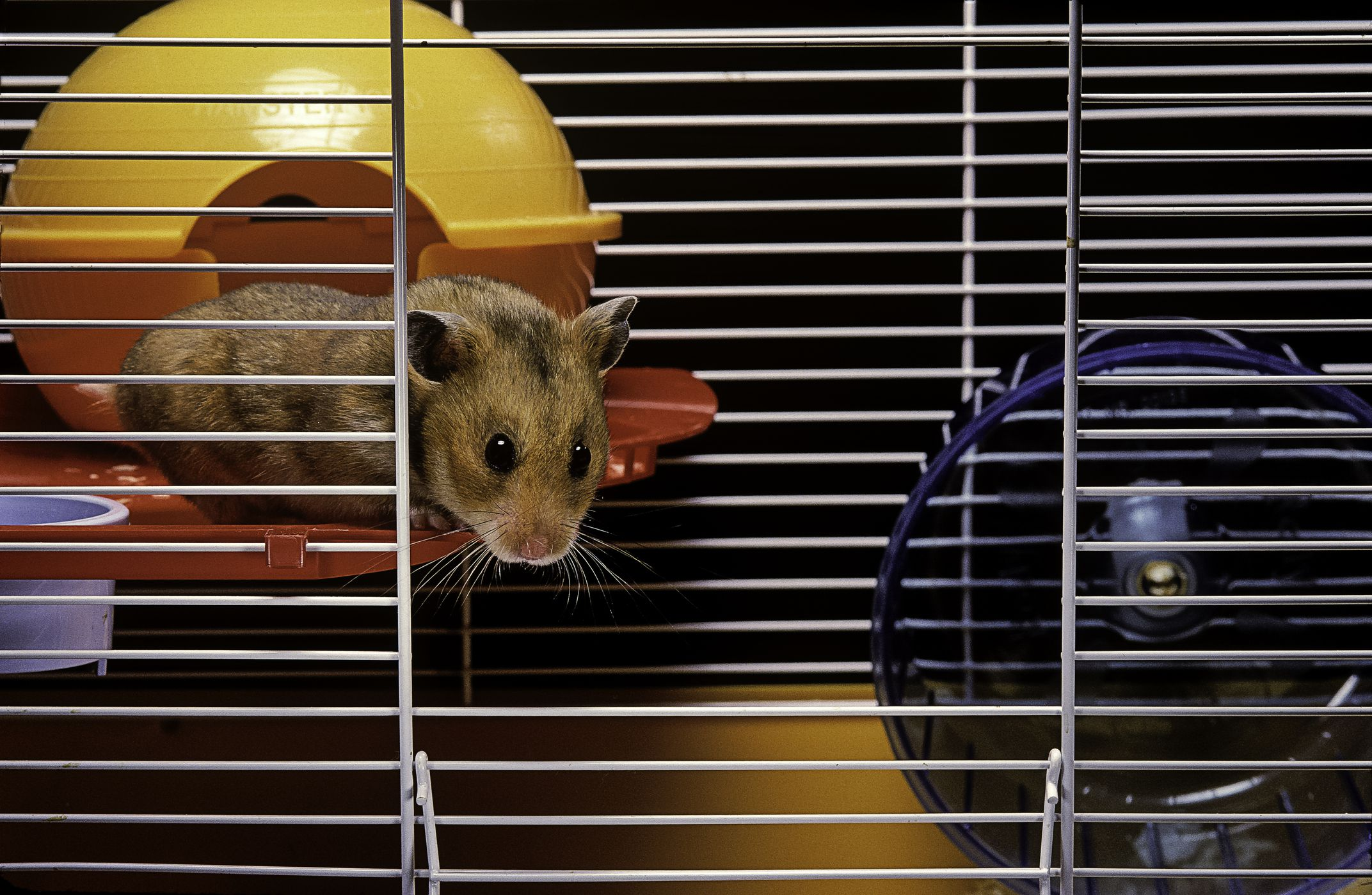 things to consider buying cages for syrian hamster. Black Bedroom Furniture Sets. Home Design Ideas