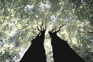 Two tall trees growing toward the sky.