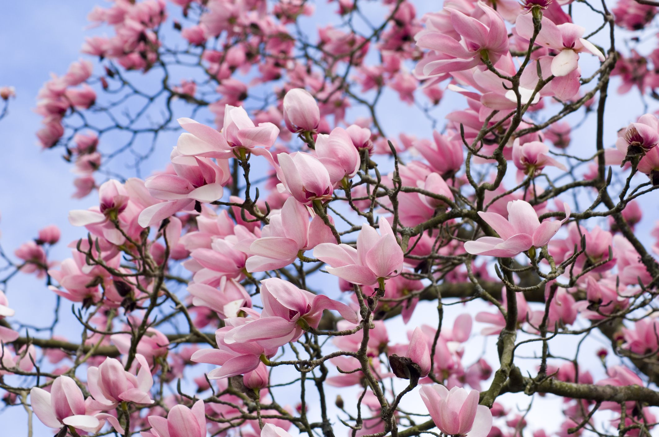 When is the best time to prune magnolia trees for Magnolia tree